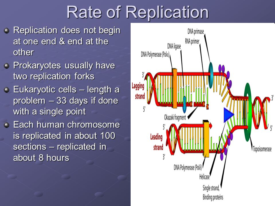 Rate of Replication Replication does not begin at one end & end at the other. Prokaryotes usually have two replication forks.