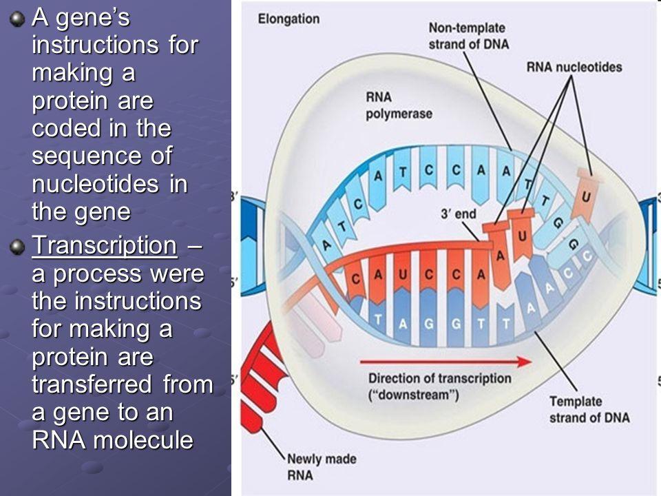 A gene's instructions for making a protein are coded in the sequence of nucleotides in the gene