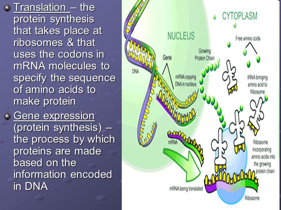 Translation – the protein synthesis that takes place at ribosomes & that uses the codons in mRNA molecules to specify the sequence of amino acids to make protein