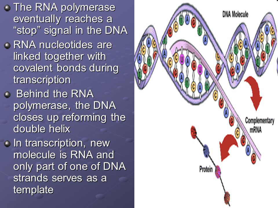 The RNA polymerase eventually reaches a stop signal in the DNA