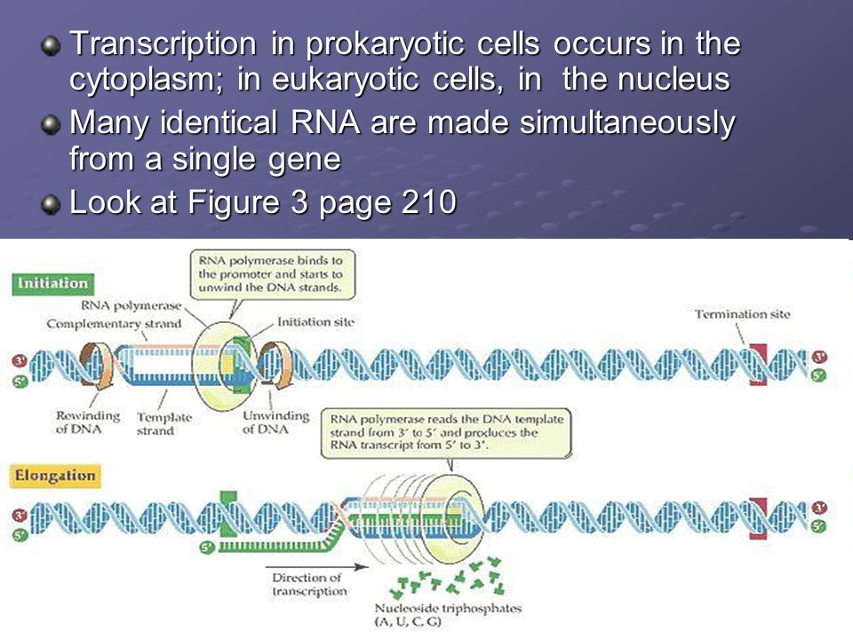 Transcription in prokaryotic cells occurs in the cytoplasm; in eukaryotic cells, in the nucleus