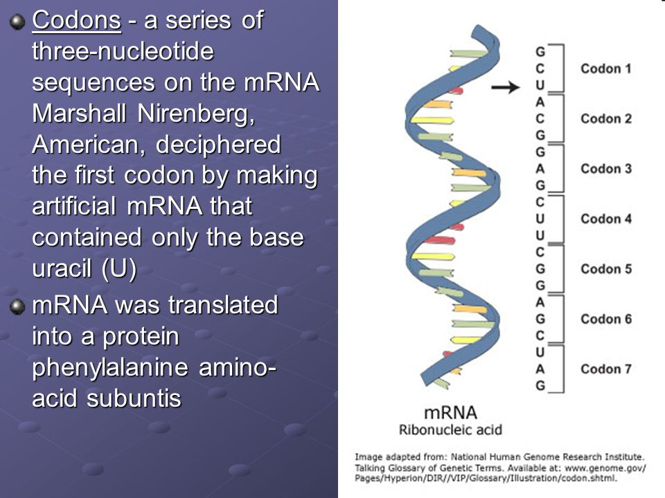 Codons - a series of three-nucleotide sequences on the mRNA Marshall Nirenberg, American, deciphered the first codon by making artificial mRNA that contained only the base uracil (U)