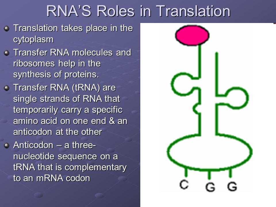 RNA'S Roles in Translation