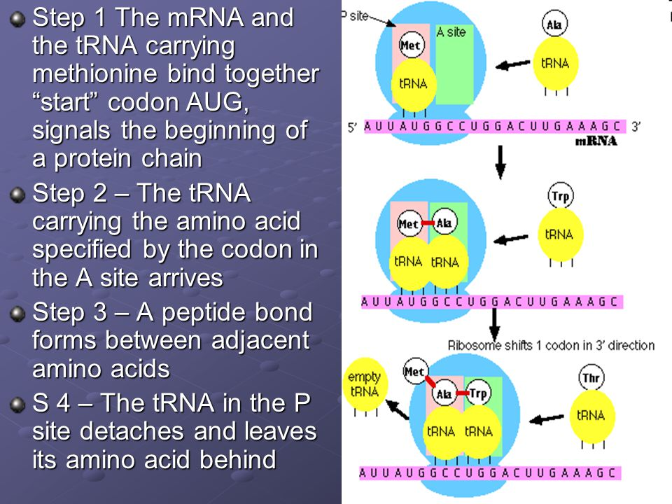 Step 1 The mRNA and the tRNA carrying methionine bind together start codon AUG, signals the beginning of a protein chain