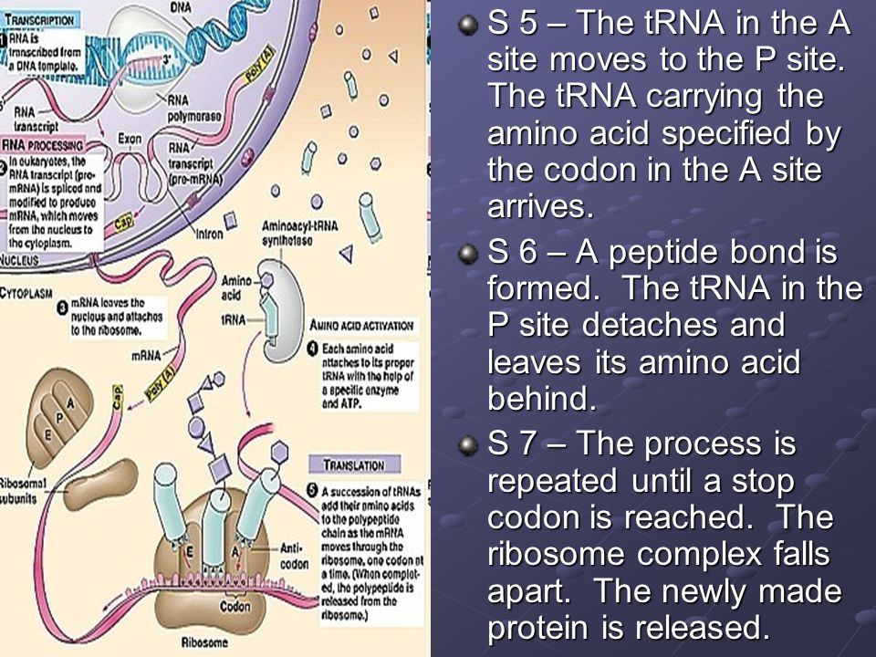 S 5 – The tRNA in the A site moves to the P site