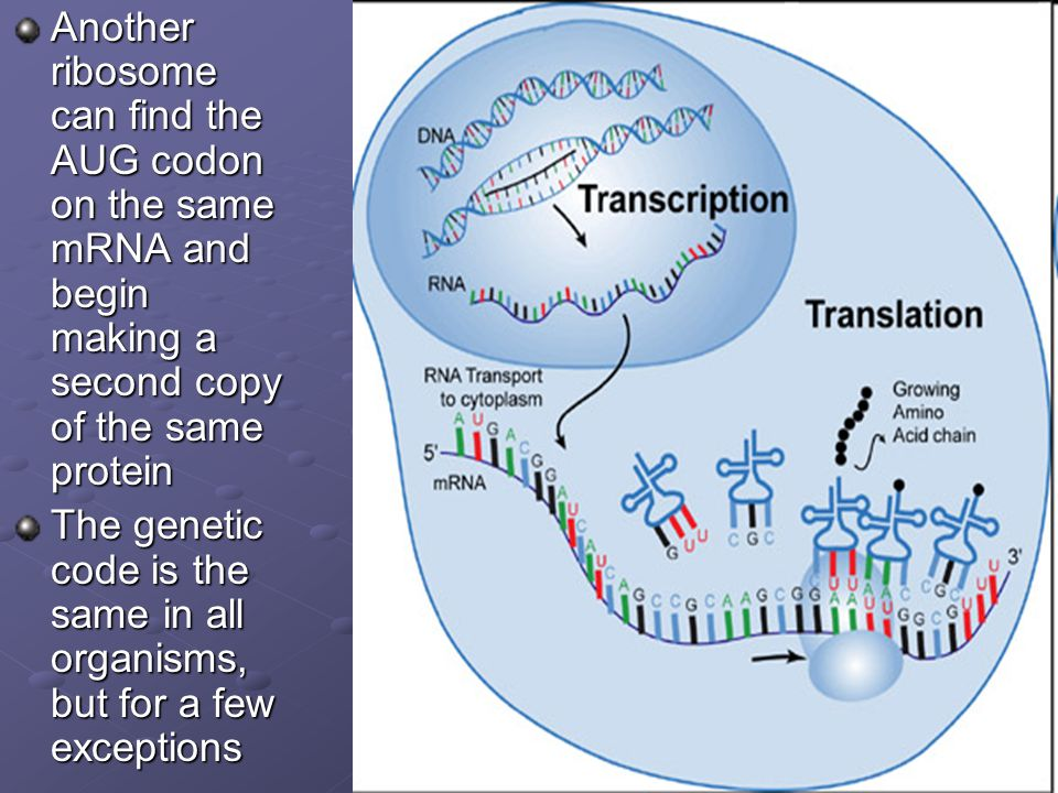 Another ribosome can find the AUG codon on the same mRNA and begin making a second copy of the same protein