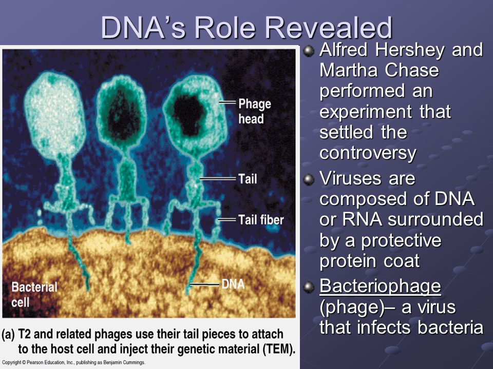 DNA's Role Revealed Alfred Hershey and Martha Chase performed an experiment that settled the controversy.