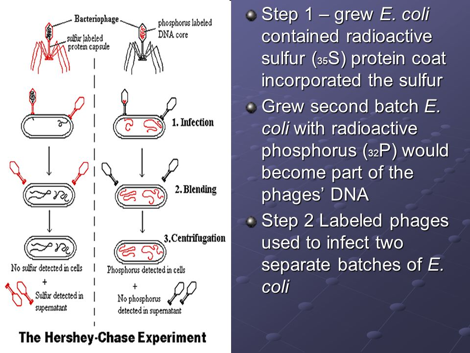 Step 1 – grew E. coli contained radioactive sulfur (35S) protein coat incorporated the sulfur