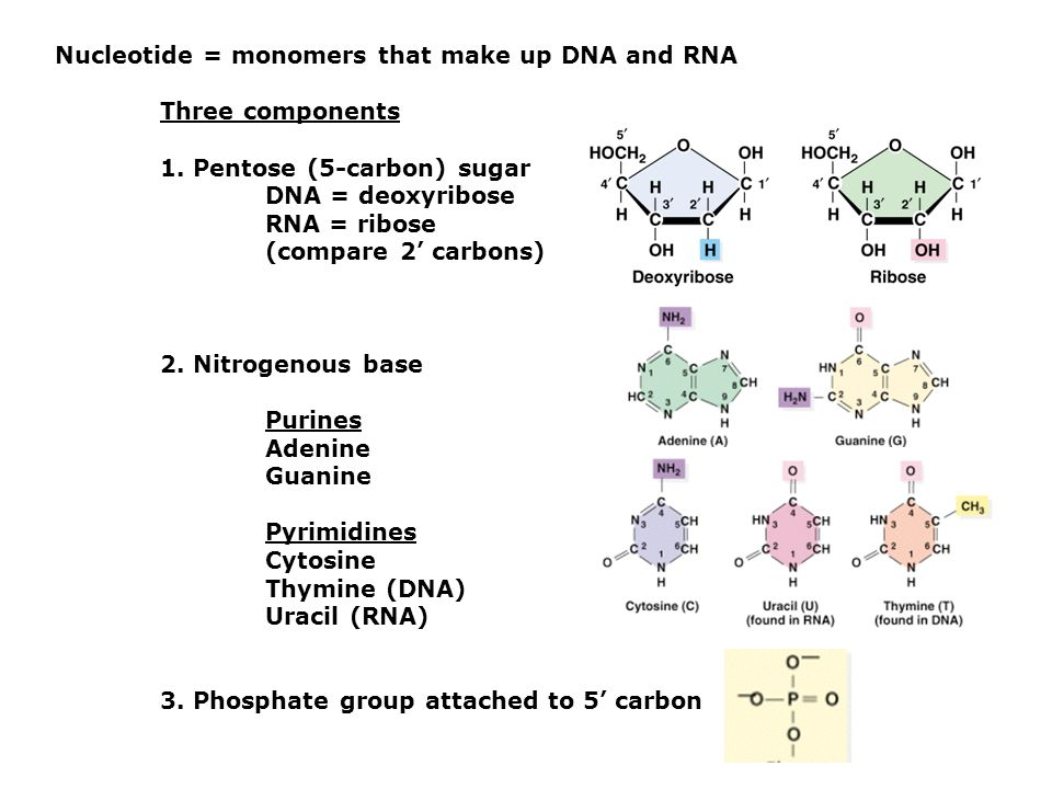 Nucleotide = monomers that make up DNA and RNA