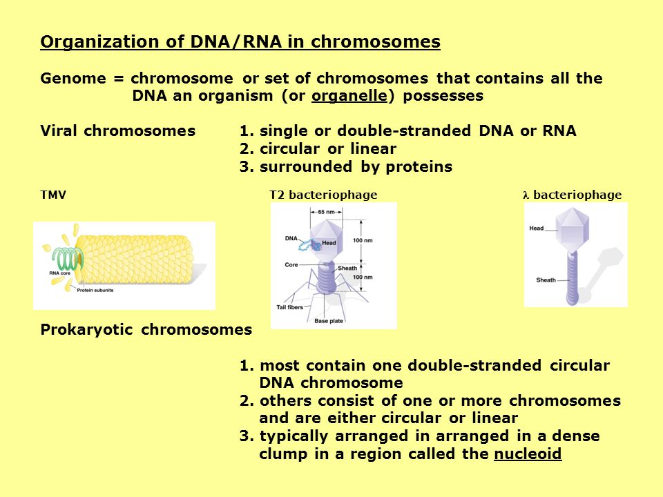 Organization of DNA/RNA in chromosomes