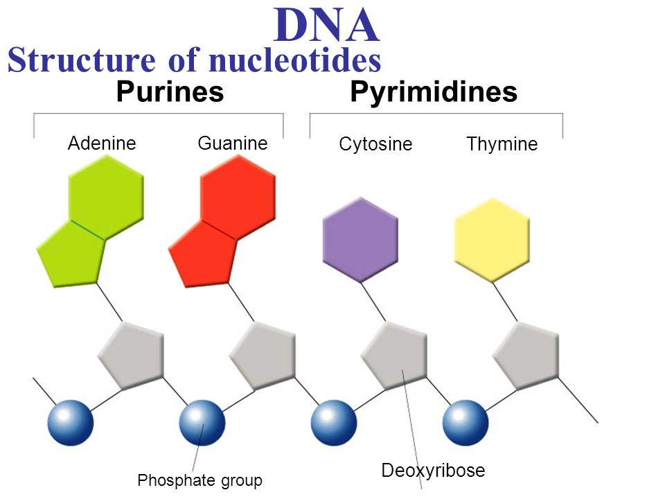 DNA Structure of nucleotides Purines Pyrimidines Adenine Guanine