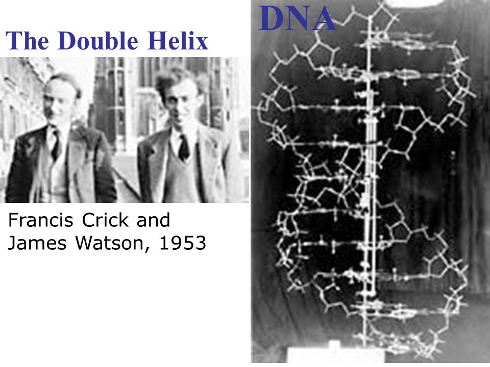 DNA The Double Helix Francis Crick and James Watson, 1953