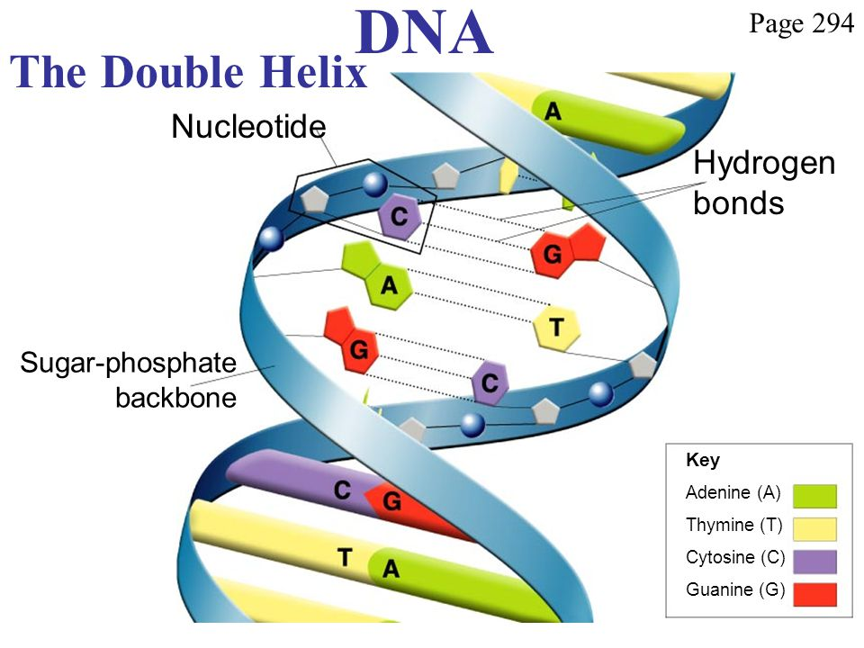 DNA The Double Helix Nucleotide Hydrogen bonds Page 294