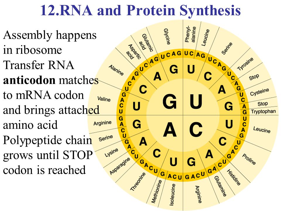 12.RNA and Protein Synthesis
