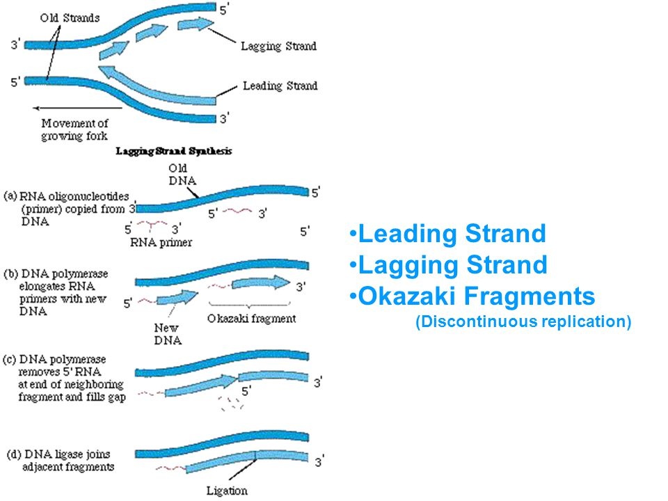 Leading Strand Lagging Strand Okazaki Fragments