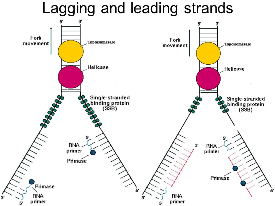 Lagging and leading strands