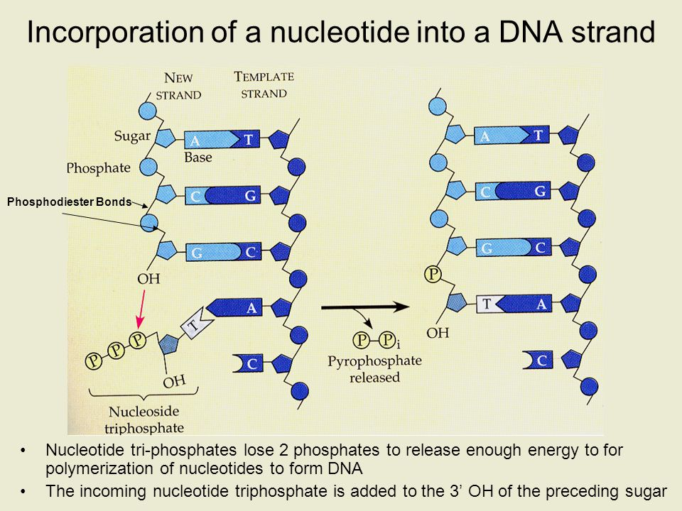 Incorporation of a nucleotide into a DNA strand