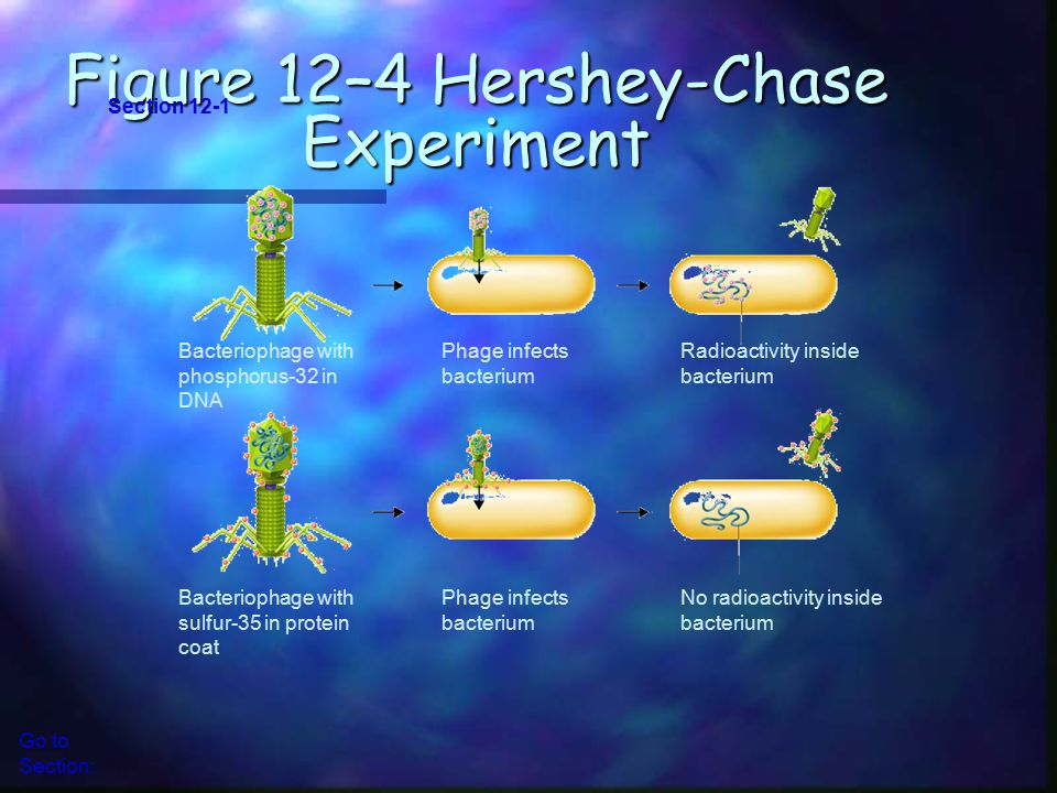 Figure 12–4 Hershey-Chase Experiment