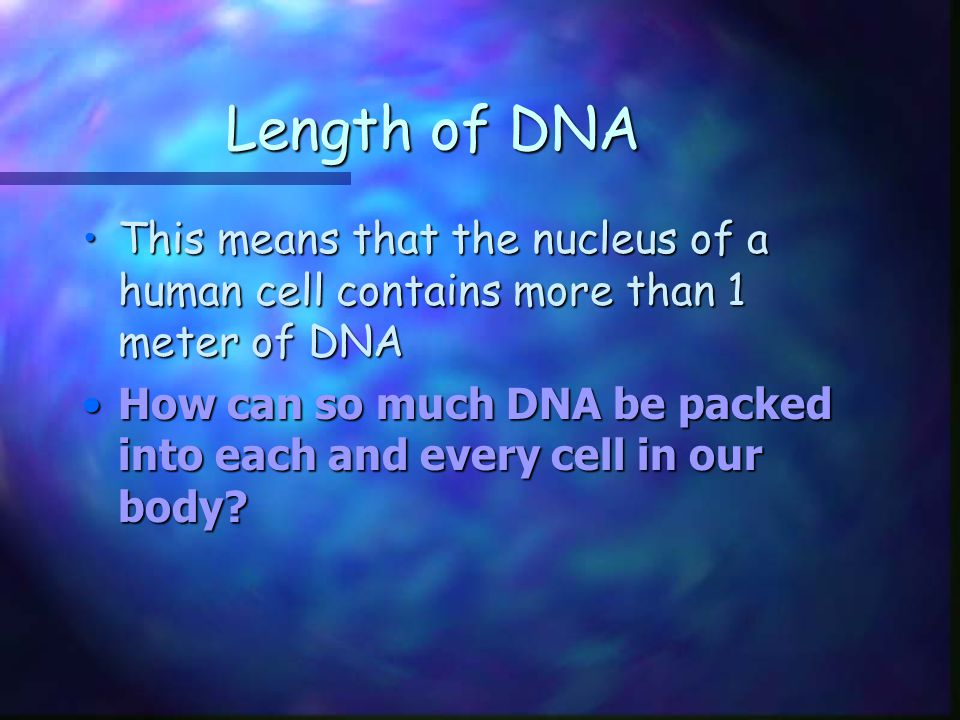 Length of DNA This means that the nucleus of a human cell contains more than 1 meter of DNA.