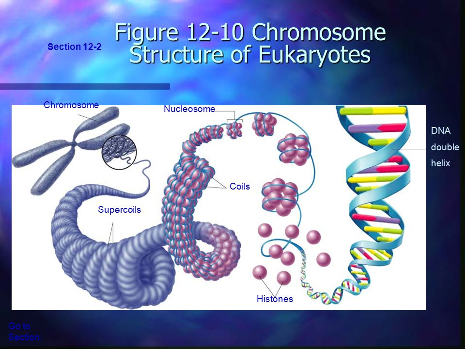 Figure 12-10 Chromosome Structure of Eukaryotes