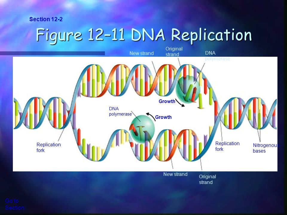 Figure 12–11 DNA Replication