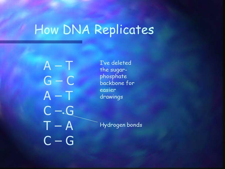 How DNA Replicates A – T G – C C – G T – A