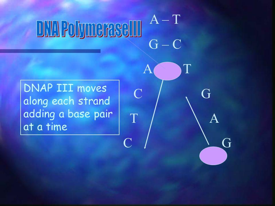A – T G – C DNA PolymeraseIII A T C G T A C G