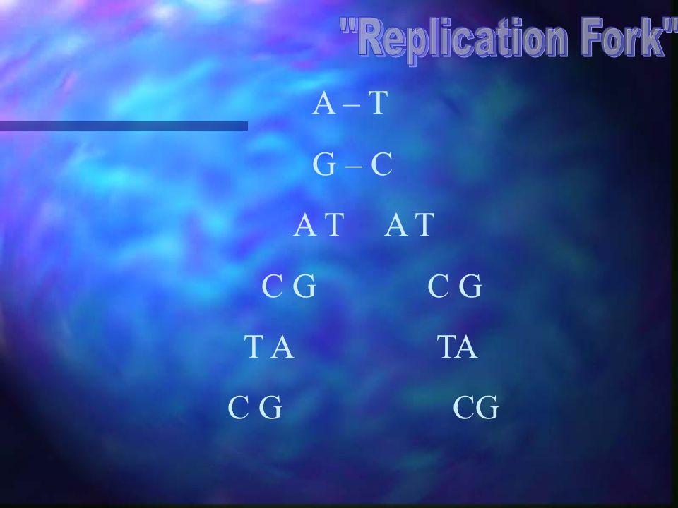 Replication Fork A – T. G – C. A T A T. C G C G.