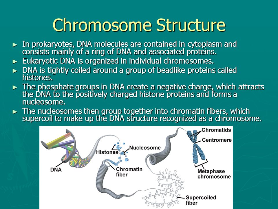 Chromosome Structure In prokaryotes, DNA molecules are contained in cytoplasm and consists mainly of a ring of DNA and associated proteins.