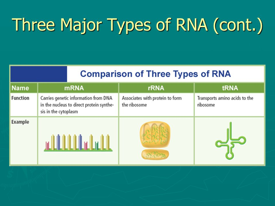 Three Major Types of RNA (cont.)
