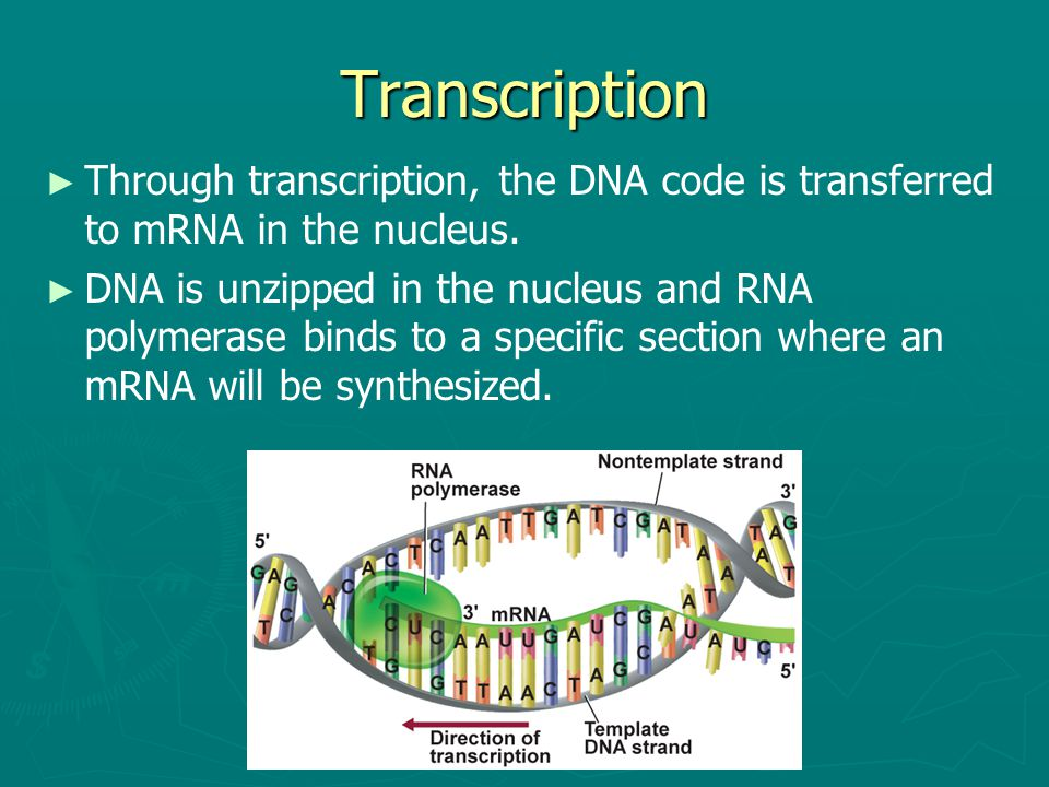 Transcription Through transcription, the DNA code is transferred to mRNA in the nucleus.
