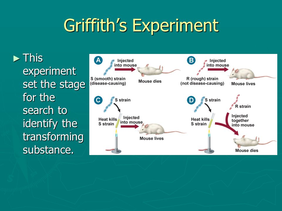Griffith's Experiment