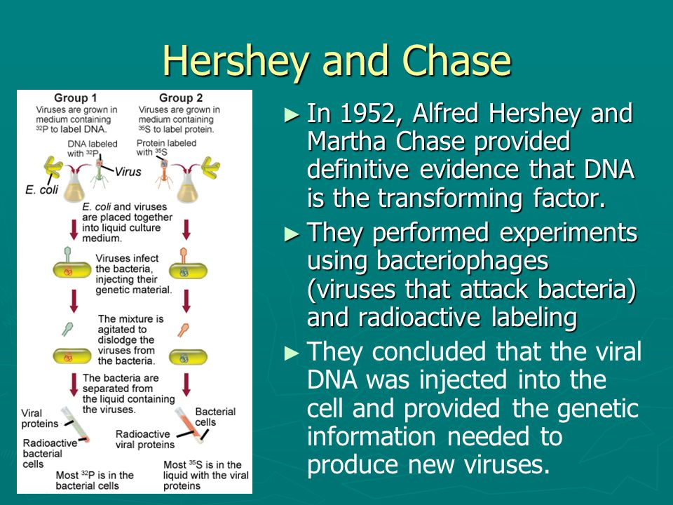 Hershey and Chase In 1952, Alfred Hershey and Martha Chase provided definitive evidence that DNA is the transforming factor.