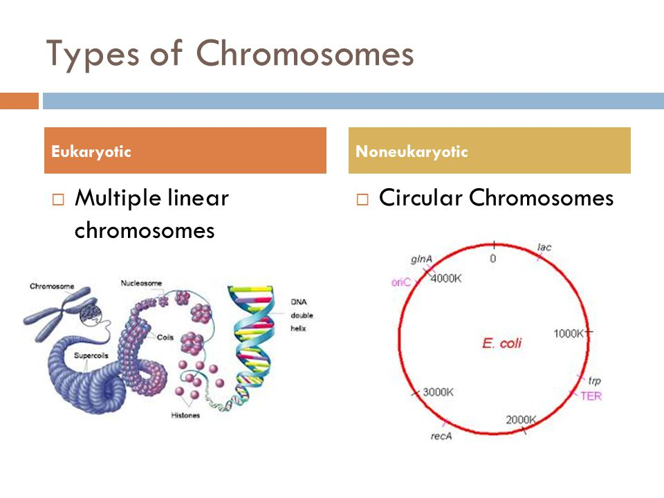Types of Chromosomes Multiple linear chromosomes Circular Chromosomes