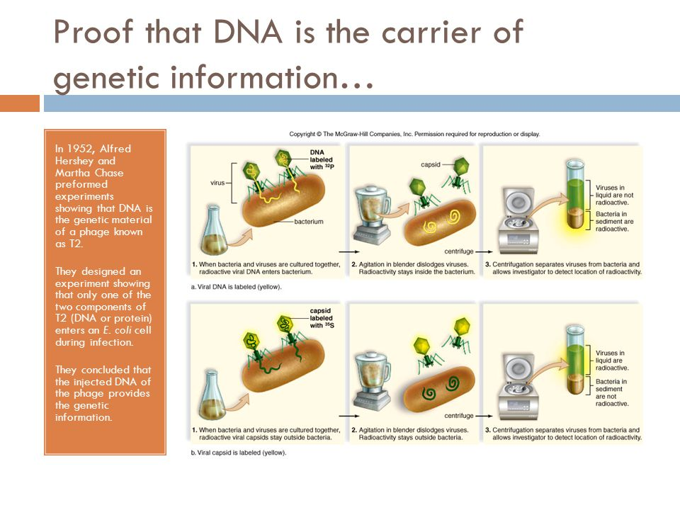 Proof that DNA is the carrier of genetic information…