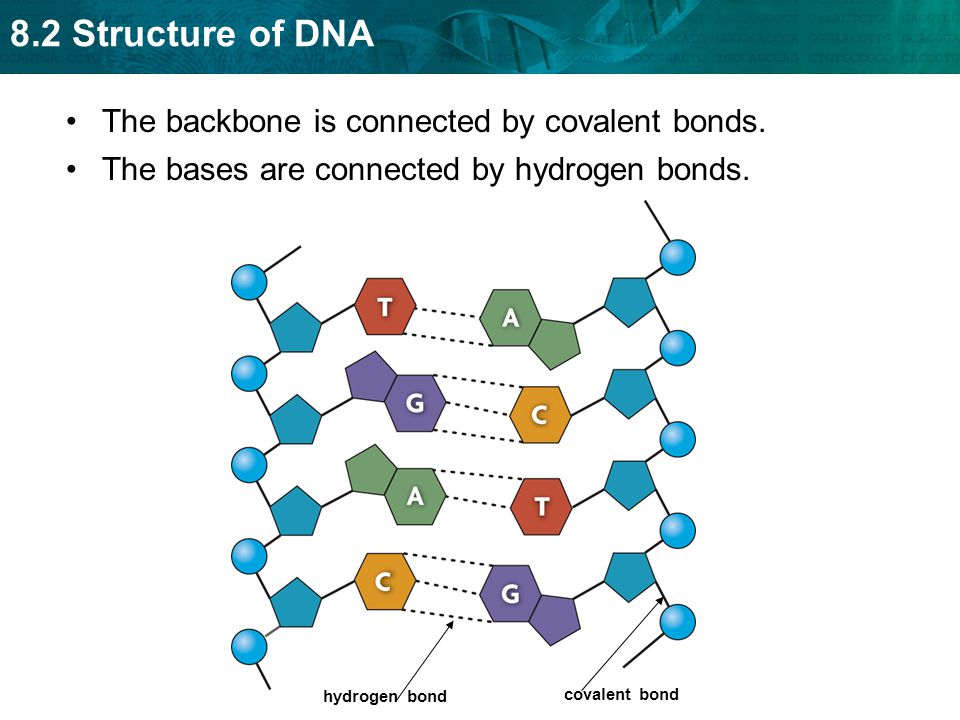 The backbone is connected by covalent bonds.