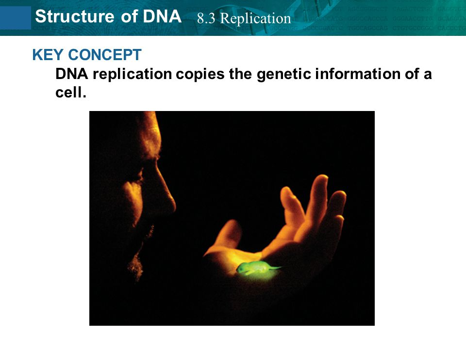 8.3 Replication KEY CONCEPT DNA replication copies the genetic information of a cell.
