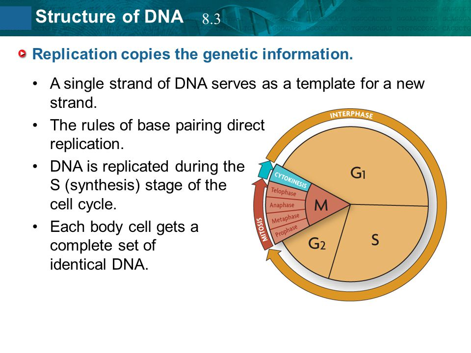 Replication copies the genetic information.