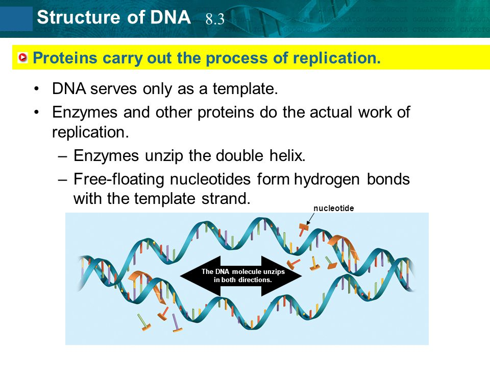Proteins carry out the process of replication.