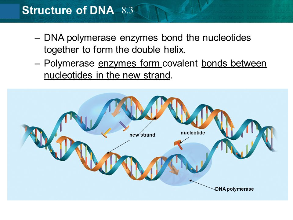8.3 DNA polymerase enzymes bond the nucleotides together to form the double helix.