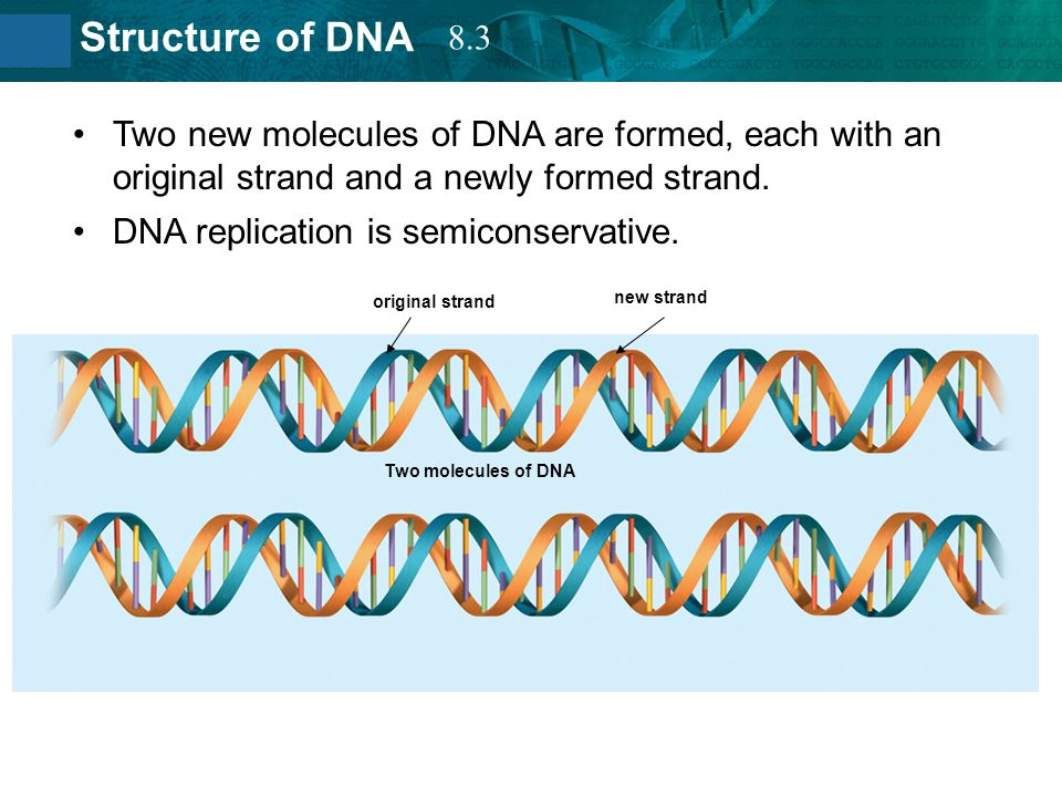 DNA replication is semiconservative.