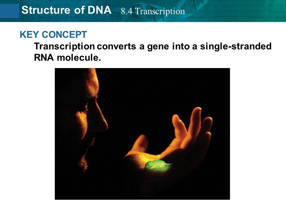 8.4 Transcription KEY CONCEPT Transcription converts a gene into a single-stranded RNA molecule.