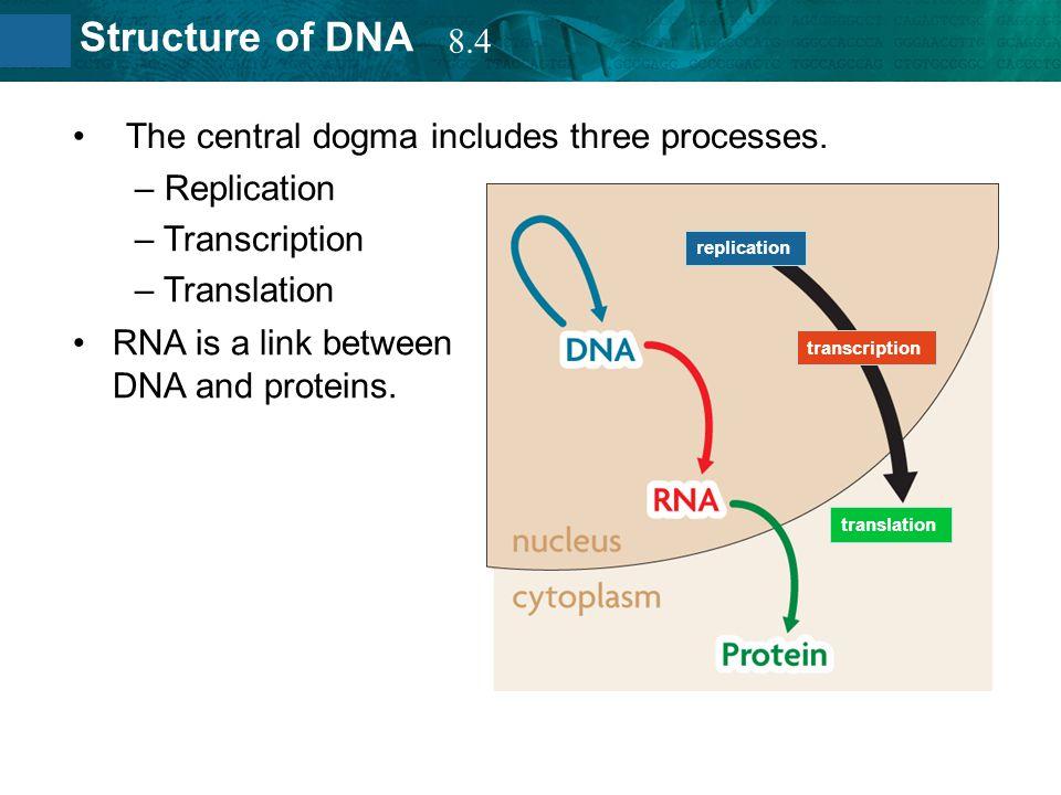 The central dogma includes three processes. Replication Transcription