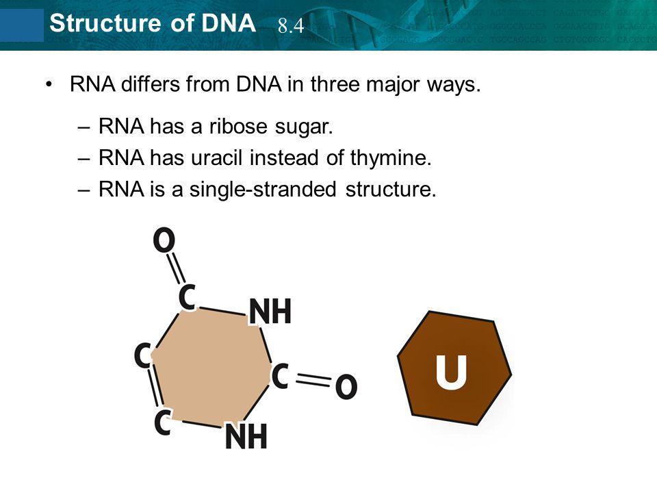 8.4 RNA differs from DNA in three major ways. RNA has a ribose sugar. RNA has uracil instead of thymine.