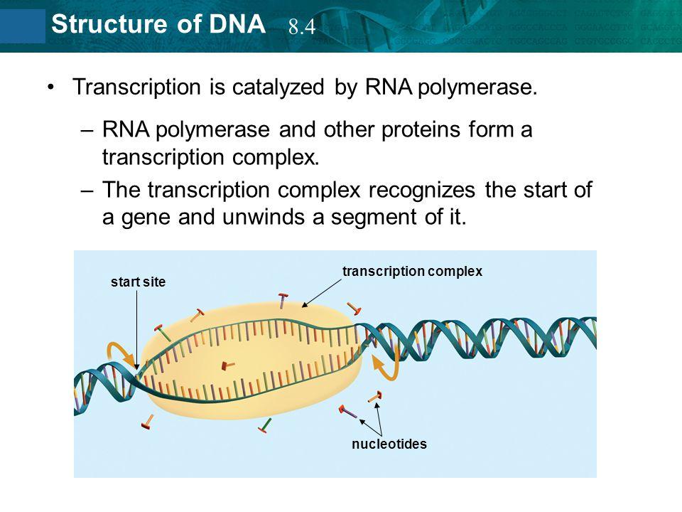 Transcription is catalyzed by RNA polymerase.