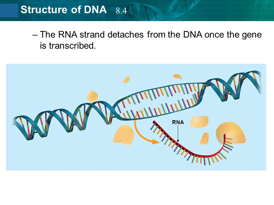 The RNA strand detaches from the DNA once the gene is transcribed.