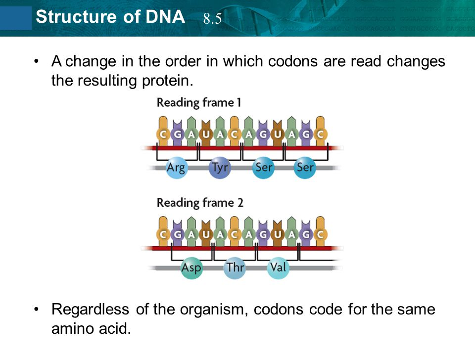 8.5 A change in the order in which codons are read changes the resulting protein.