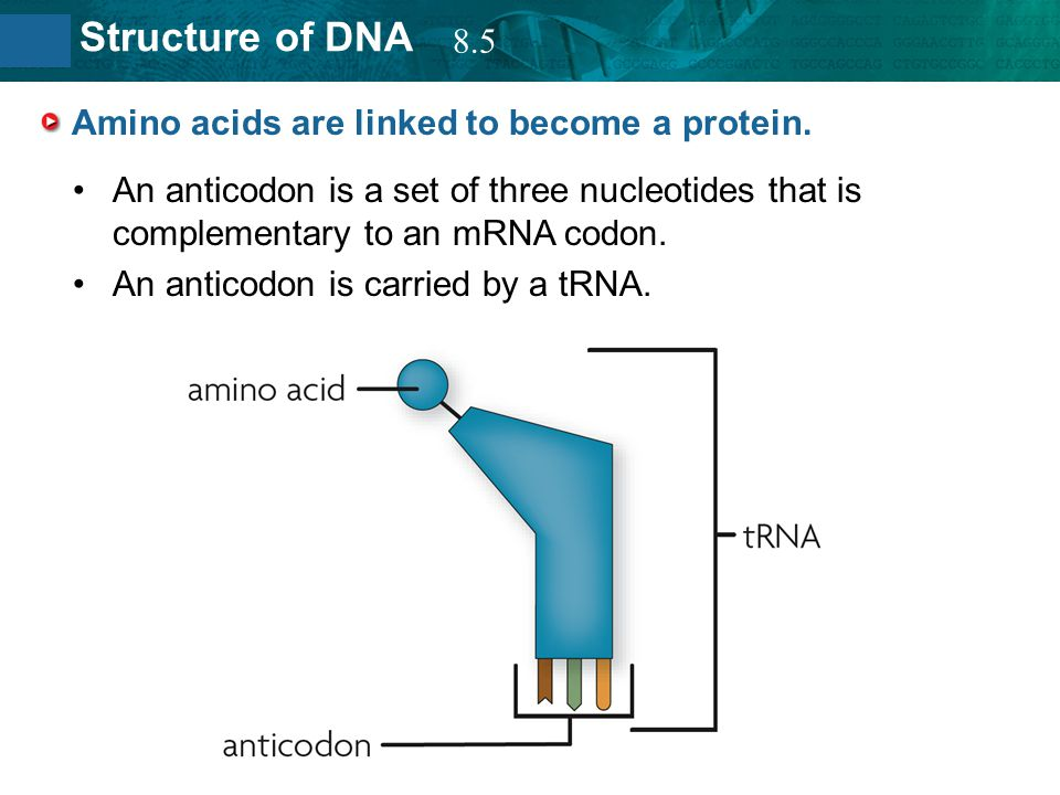 Amino acids are linked to become a protein.