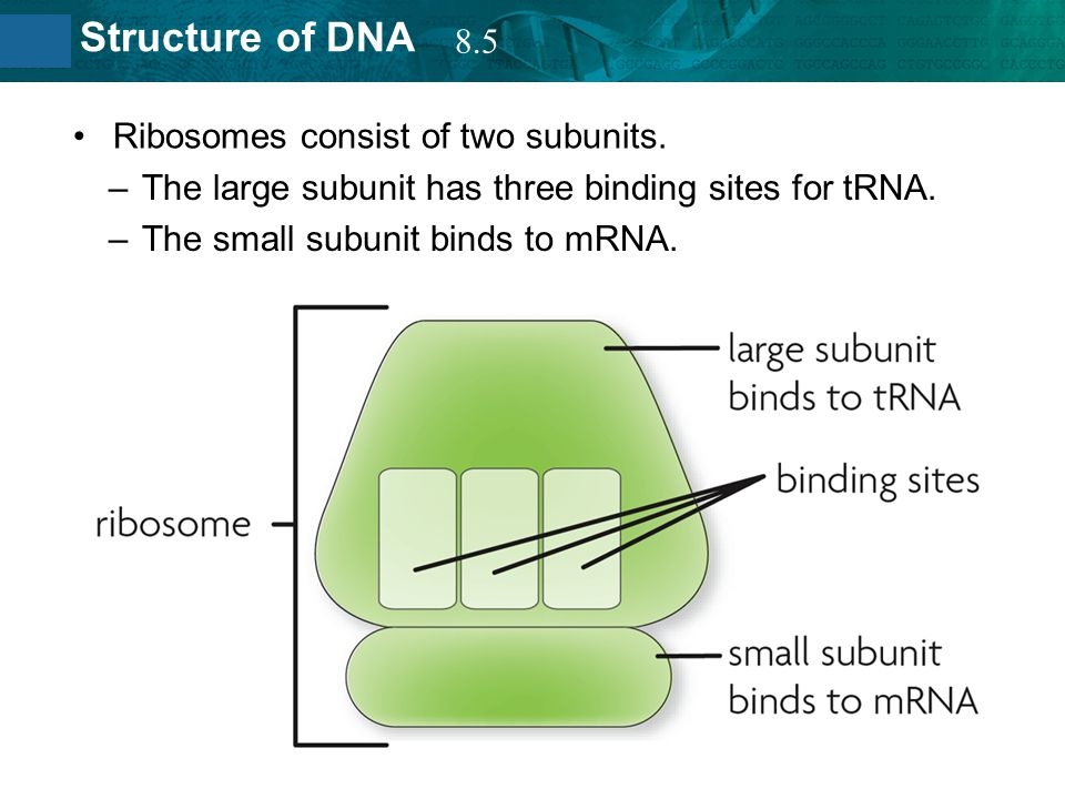 8.5 Ribosomes consist of two subunits. The large subunit has three binding sites for tRNA.