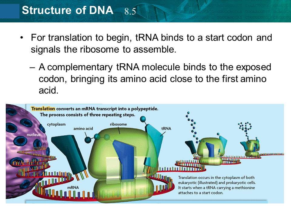8.5 For translation to begin, tRNA binds to a start codon and signals the ribosome to assemble.